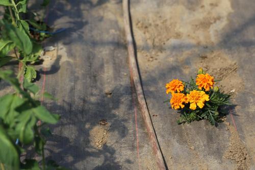 Les œillets d'inde protègent les plants de tomates