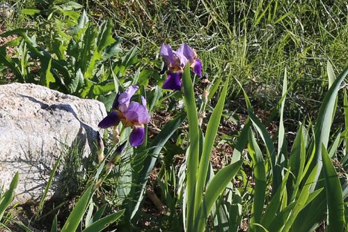 Les iris de la Pierre aux Fleurs