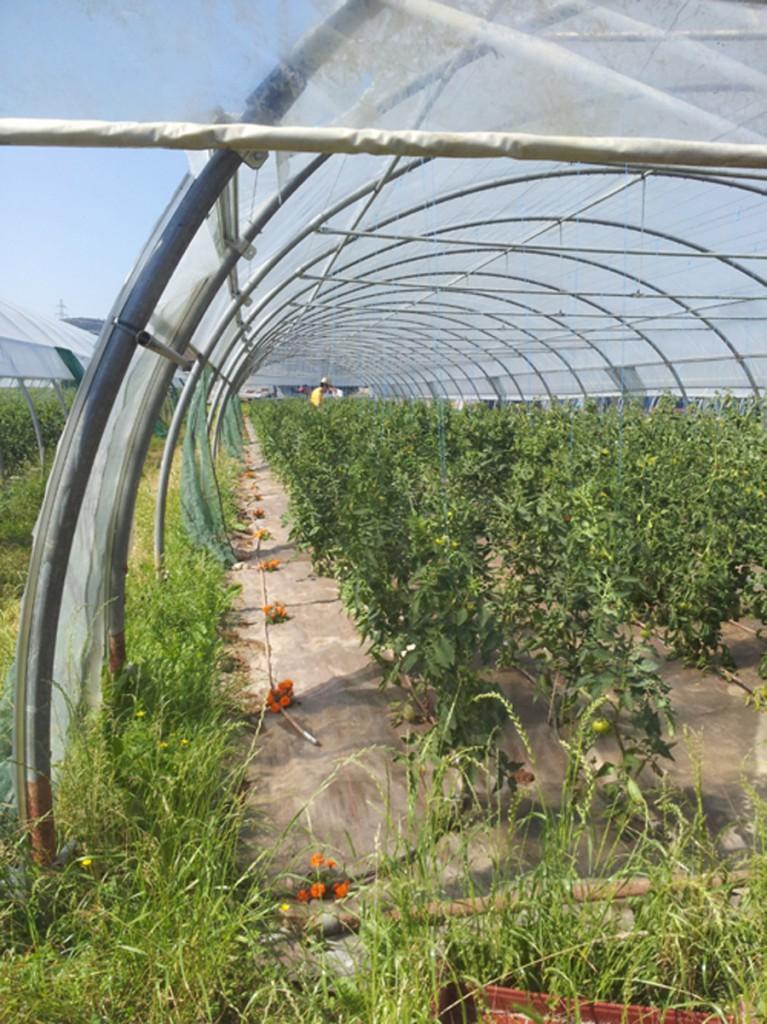 Œillets d'inde pour les tomates
