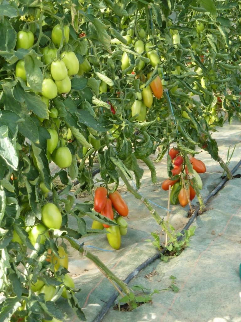 Les tomates rougissent...