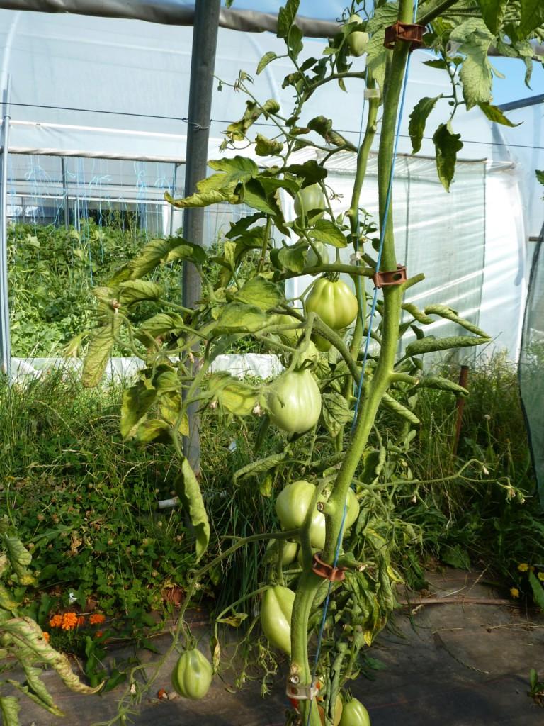 P1090118_tomates mildiou_site