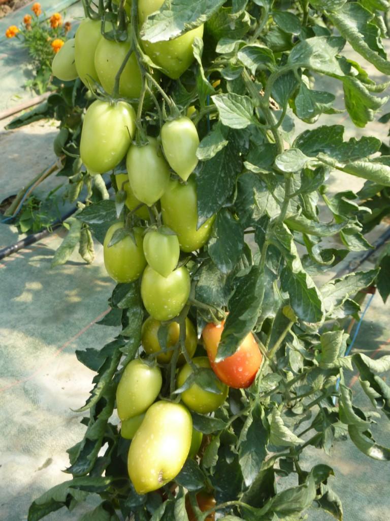 P1090125_pieds tomates_site