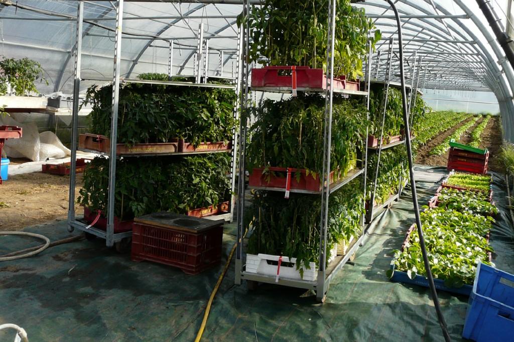 Les plants de tomates prêts à mettre en terre