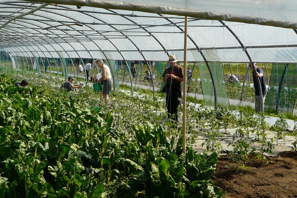 Installation des fils pour les tomates