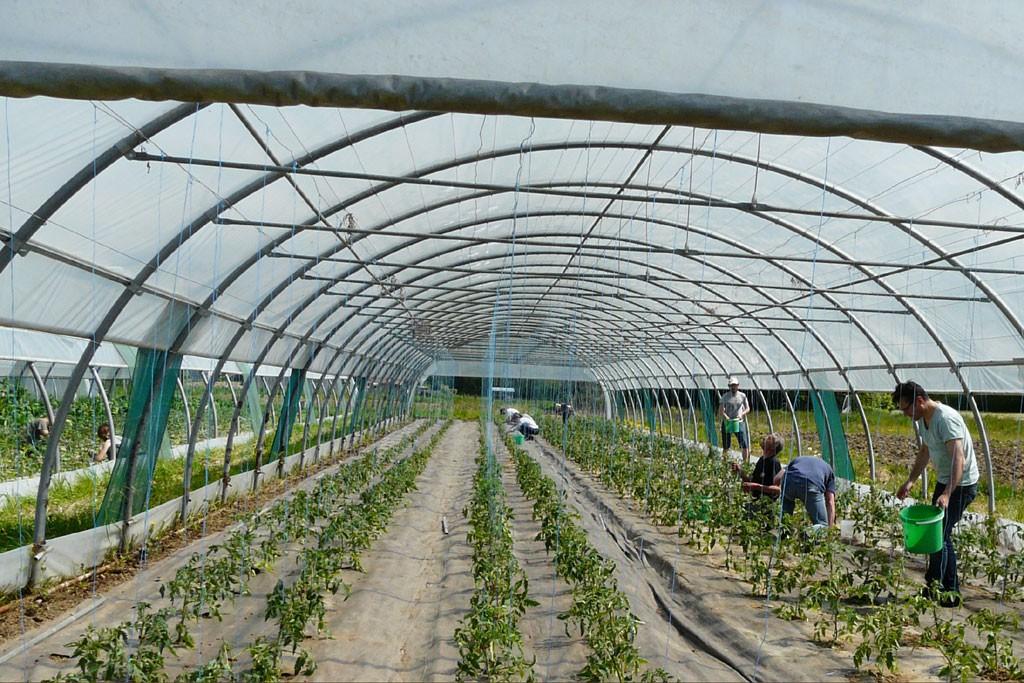 Les fils pour les tomates sont bien visibles dans la serre